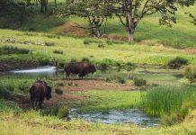 bisontes en jaen